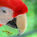 "Ara rouge, ou Ara macao, un perroquet ""rock & roll"""