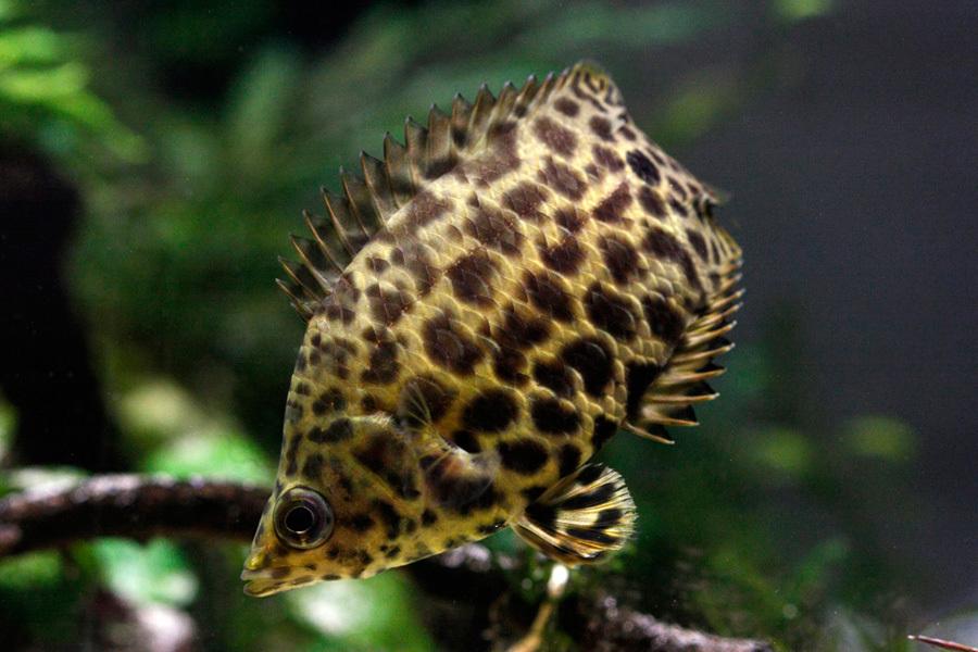 Le Cténopoma léopard, ou Ctenopoma acutirostre