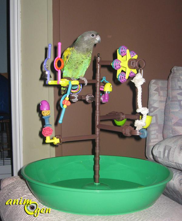 Comportement : le perroquet de Meyer, ou Poicephalus meyeri meyeri