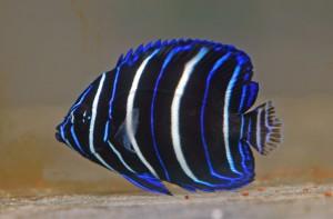 Le poisson ange à demi-lune, ou Pomacanthus asfur