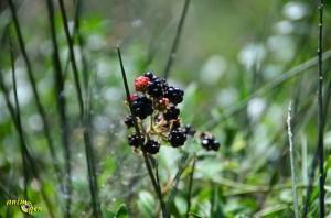Les mûres, un caviar d'été pour nos perroquets