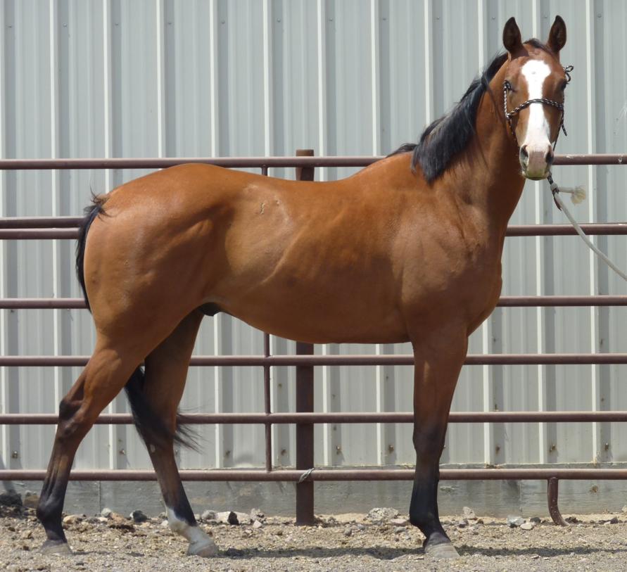 Le Barbe, un cheval taillé pour l'endurance