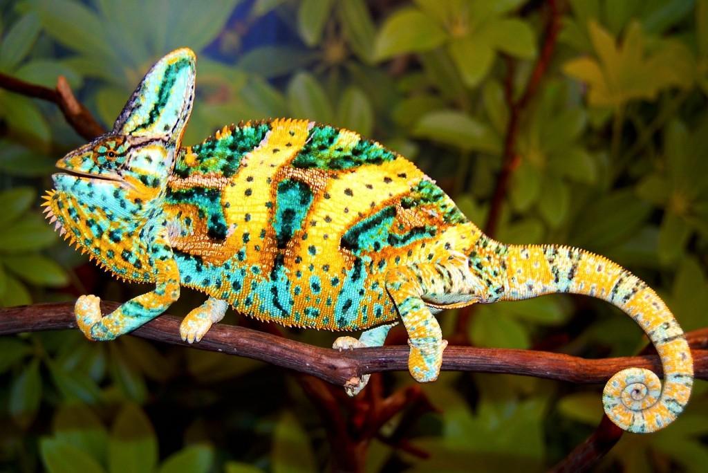 Le caméléon voilé, ou Chameleo calyptratus