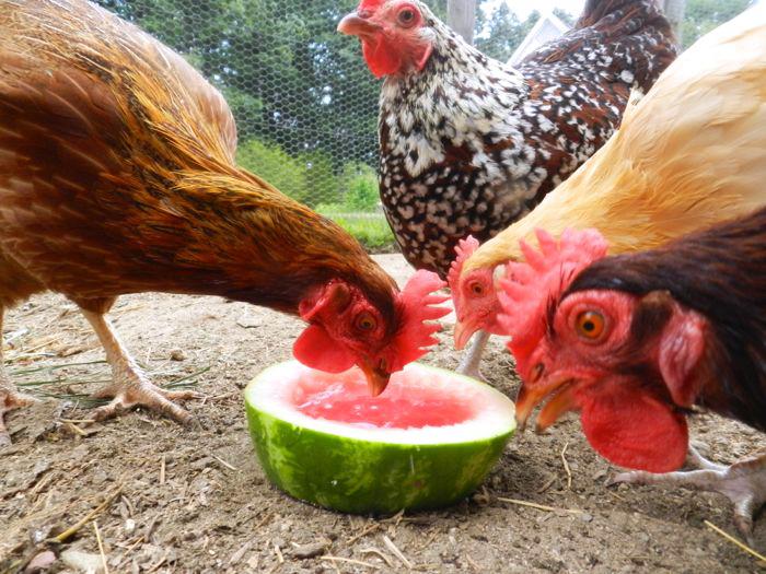Comment aider nos poules à supporter la chaleur en été ?