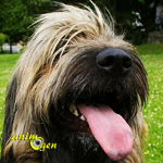 Le chien de berger catalan, ou Gos d'Atura Catala, un compagnon tout-terrain