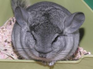 chinchilla-nouveau-congénère-présentation-comportement-présenter-comment-organiser-précaution-conseil-rongeurs-nac-animaux-animal-compagnie-animogen-