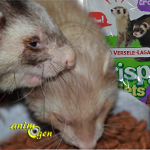 Alimentation pour furets : Crispy Pellets de Versele Laga (test, avis, prix)