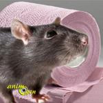 Santé : la diarrhée chez le rat (causes, symptômes, traitement)