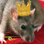 Comportement : mise au point de la hiérarchie chez les rats (rapports de dominance)
