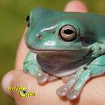 La rainette de White (Litoria caerulea), une grenouille arboricole idéale pour un débutant