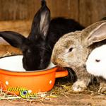 hiérachie-établissement-rapports-sociaux-dominants-statut-lapins-rongeurs-lagomorphes-animal-animaux-compagnie-animogen-0