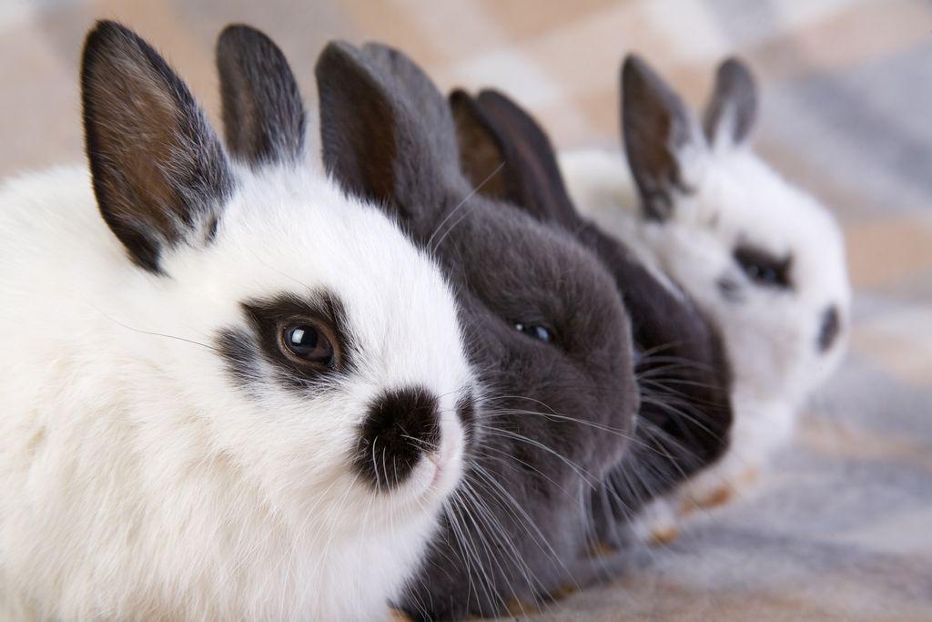 Comportement : établissement de la hiérarchie chez les lapins, le partage du royaume