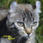 Le Highlander, un chat au caractère exceptionnel