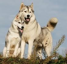 Le Husky sibérien, l'énergie à l'état pur