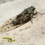 La cigale : vie, chant et moeurs de l'insecte qui nous enchante tout l'été