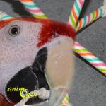 Fabriquez un jouet de patte étoilé pour vos perroquets (tutoriel, matériel,prix)