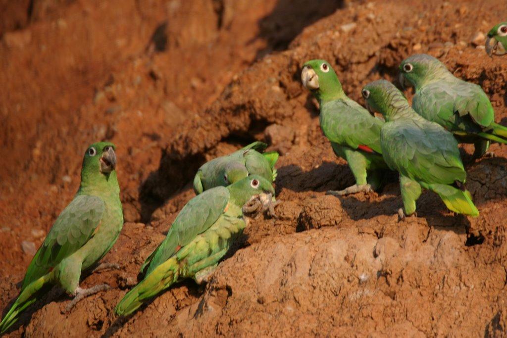 Pourquoi les perroquets ingèrent-ils des minéraux ?