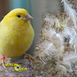 Santé des plumes : la mue annuelle chez le canari (déroulement et précautions)