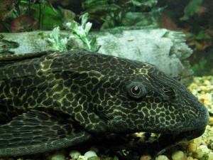 Le Pleco, ou Plecostomus un poisson d'eau douce aux idées de grandeur