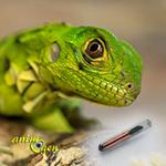 La pose d'une puce électronique, ou transpondeur chez les reptiles (pourquoi, comment ?)