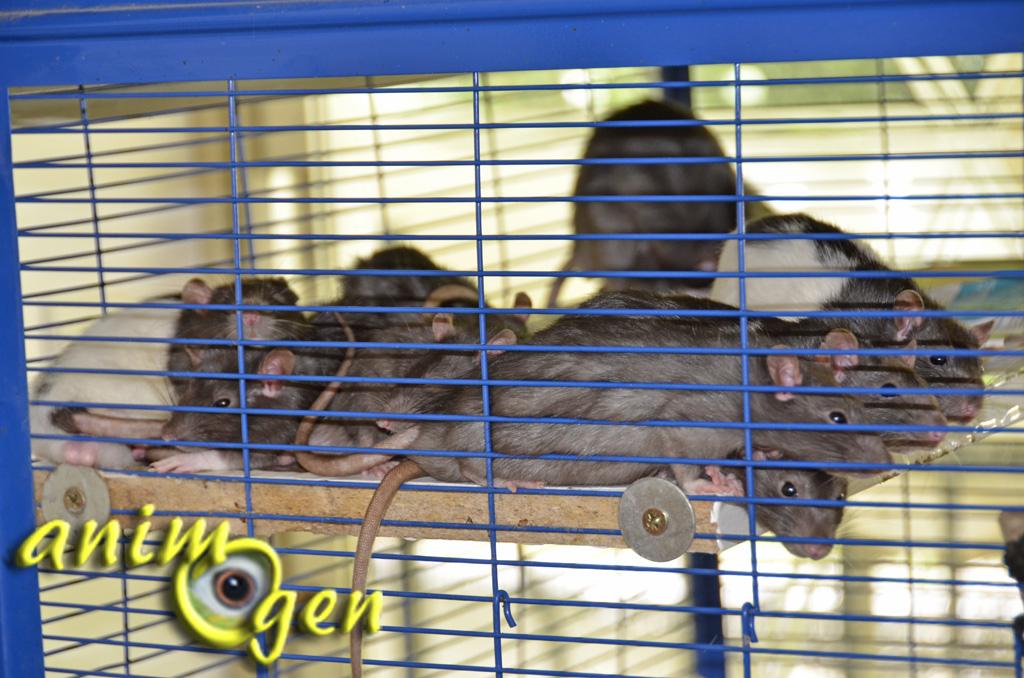 Comportement : comment définir les besoins de nos rats de compagnie selon leur caractère ?