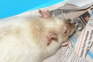 Les parasites externes chez le rat de compagnie : poux, acariens, gale et puces