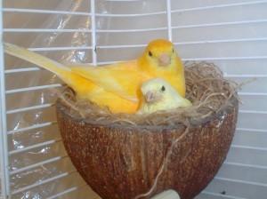 La reproduction chez les canaris (déroulement, précautions, alimentation)