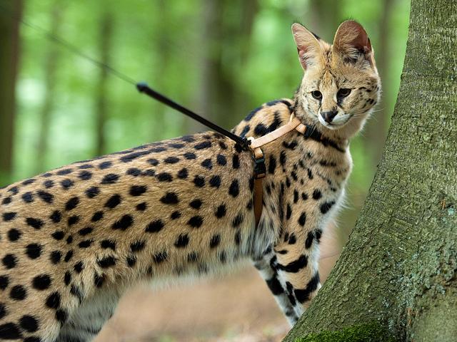 Le serval, un chat de compagnie à l'instinct sauvage