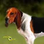 Le chien d'Artois, ou Briquet d'Artois (origines, éducation, comportement)