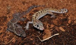 Coleonyx mitratus, le gecko léopard américain