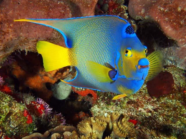 Le poisson ange royal ou holacanthus ciliaris for Alimentation poisson aquarium