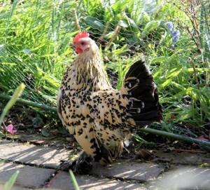 La Sabelpoot, la poule aux mille vertus