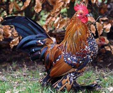 La sabelpoot une poule aux mille vertus animogen for Prix d une poule