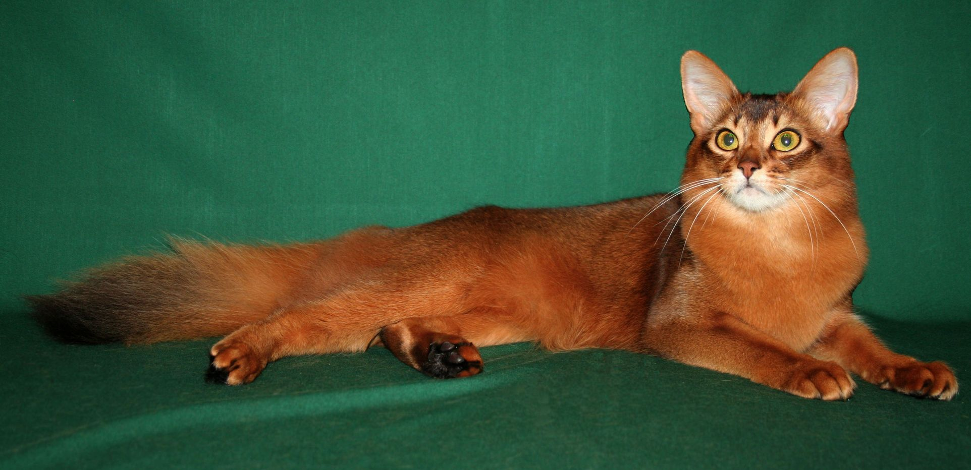 Red Tabby Cat Breed
