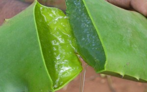 Santé : l'aloe vera, une alliée pour les perroquets et leur maître