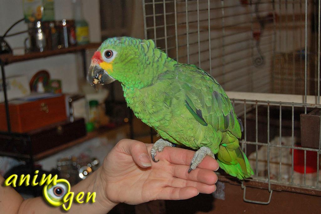 Education : apprendre à un perroquet à monter et descendre sur vous