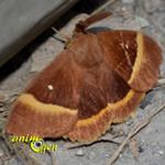 Le bombyx du chêne, bombyx du genêt ou minime à bandes jaunes (Lasiocampa quercus)