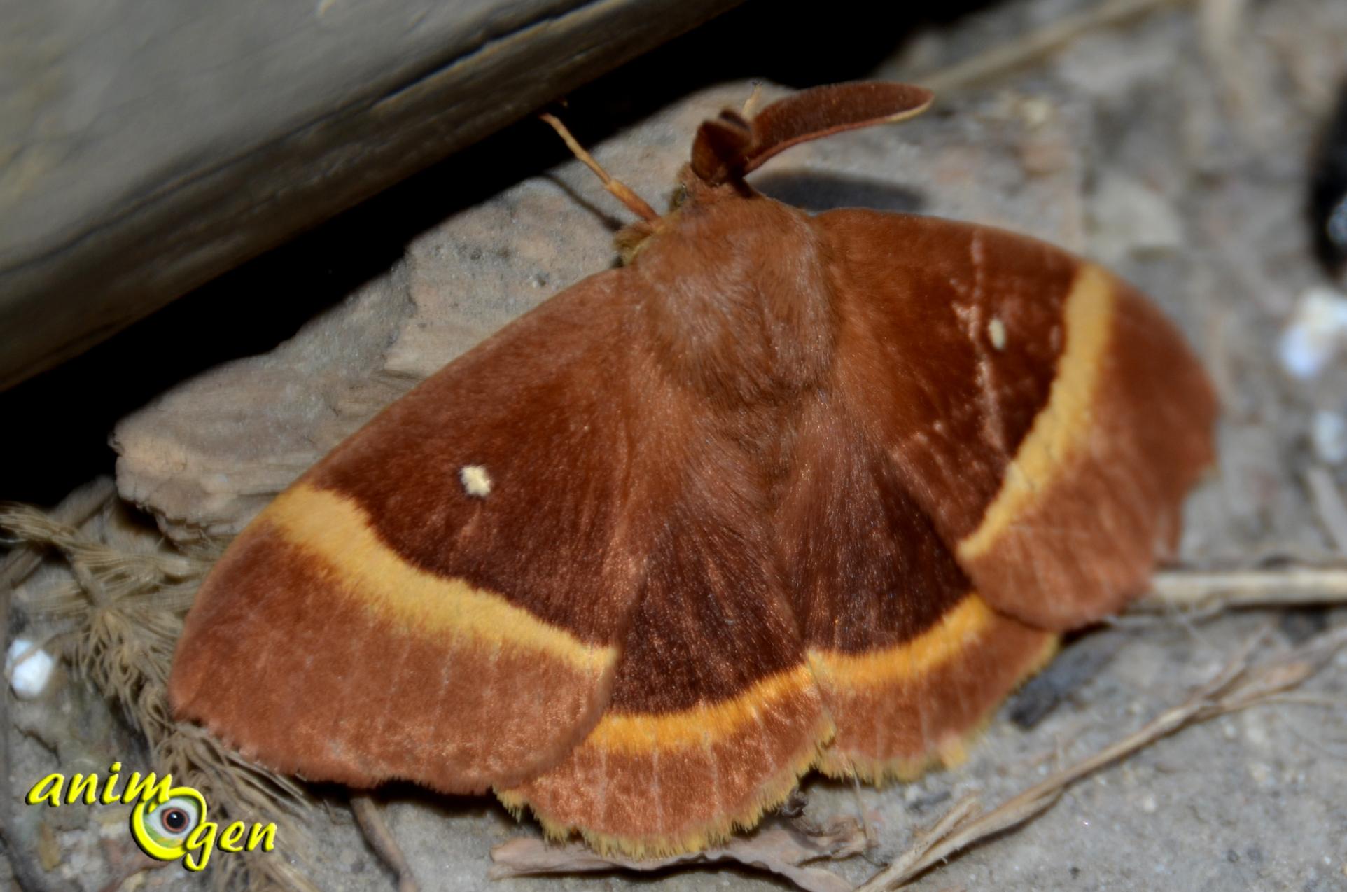 Le bombyx du ch ne bombyx du gen t ou minime bandes jaunes lasiocampa quercus animogen - Duree de vie papillon de nuit ...