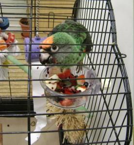 Santé : l'influence des carences alimentaires sur le comportement de nos perroquets ?