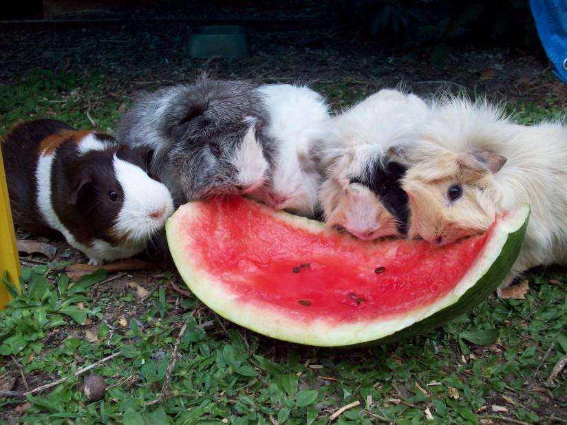 La reproduction des cochons d'Inde : quand et comment l'envisager ?