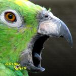 cris-crier-empêcher-comportement-causes-origine-solutions-expression-perroquets-pittacidés-captivité-oiseaux-animal-animaux-compagnie-animogen-0