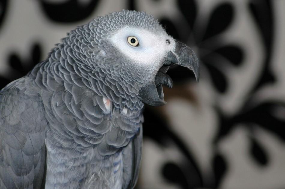 Les cris chez le perroquet : les comprendre et y remédier