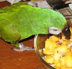cris-crier-empêcher-comportement-causes-origine-solutions-expression-perroquets-pittacidés-captivité-oiseaux-animal-animaux-compagnie-animogen-3