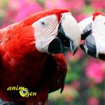 L'âge de la maturité sexuelle des perroquets