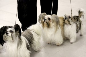 Le Mi-ki, un mini chien venu des Etats-Unis