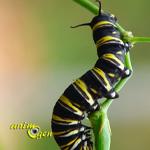 Le papillon monarque déploie ses ailes (Danaus plexippus)
