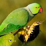 Perruche à collier, ou Psittacula krameri, quatre oiseaux pour un même nom