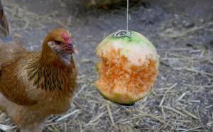 Le picage chez les poules : causes, précautions, solutions