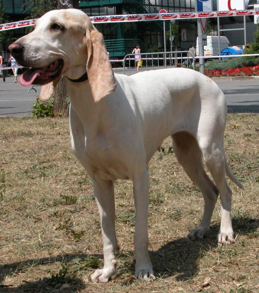 Le Porcelaine, Briquet français ou chien de Franche Comté (standard, caractère, éducation)