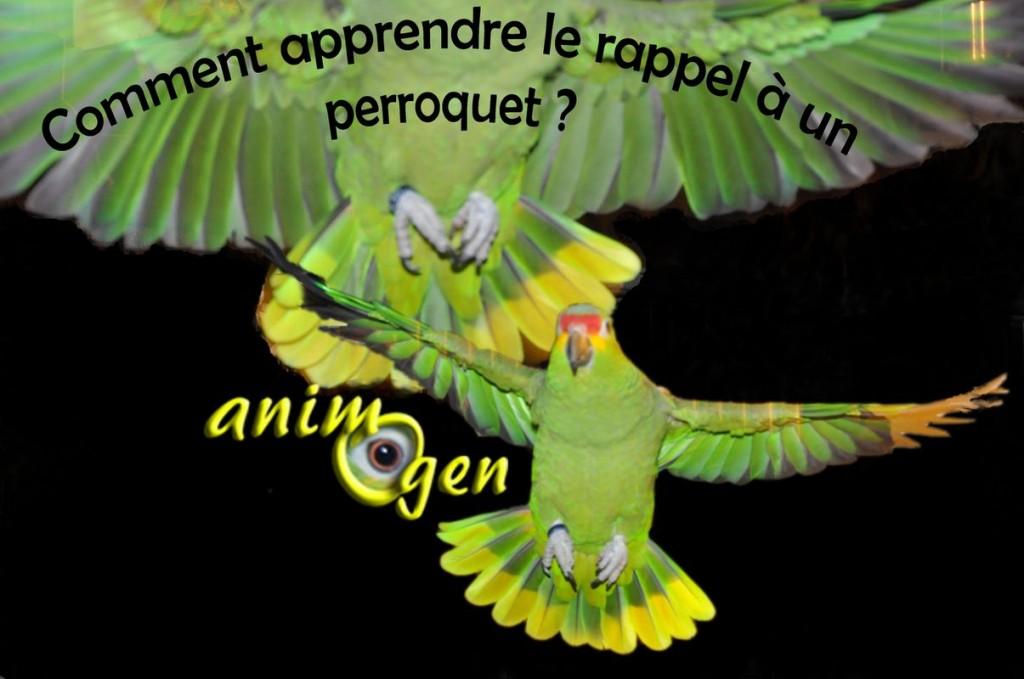Le rappel, ou comment apprendre à un perroquet à revenir vers son maître en volant